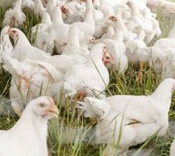 La trazabilidad en los productos del sector avícola